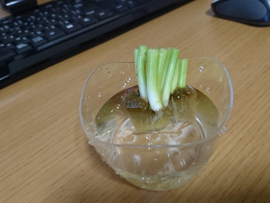 3.プリンを食べた容器に水を入れて栽培開始