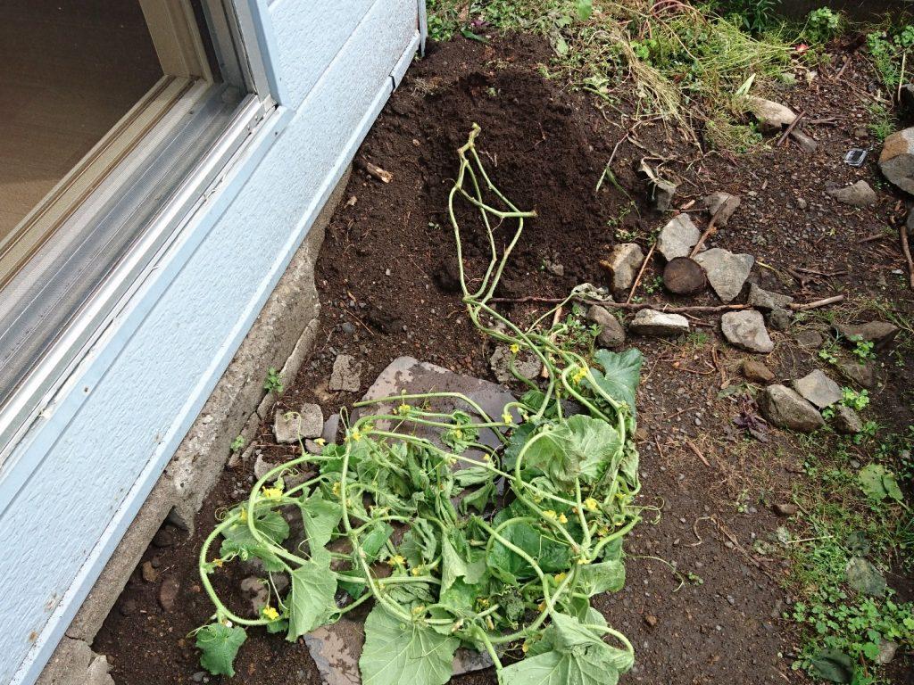 平成28年8月20日メロンが枯れてから2日。あきらめきれず、畑じゃないところに植えた。