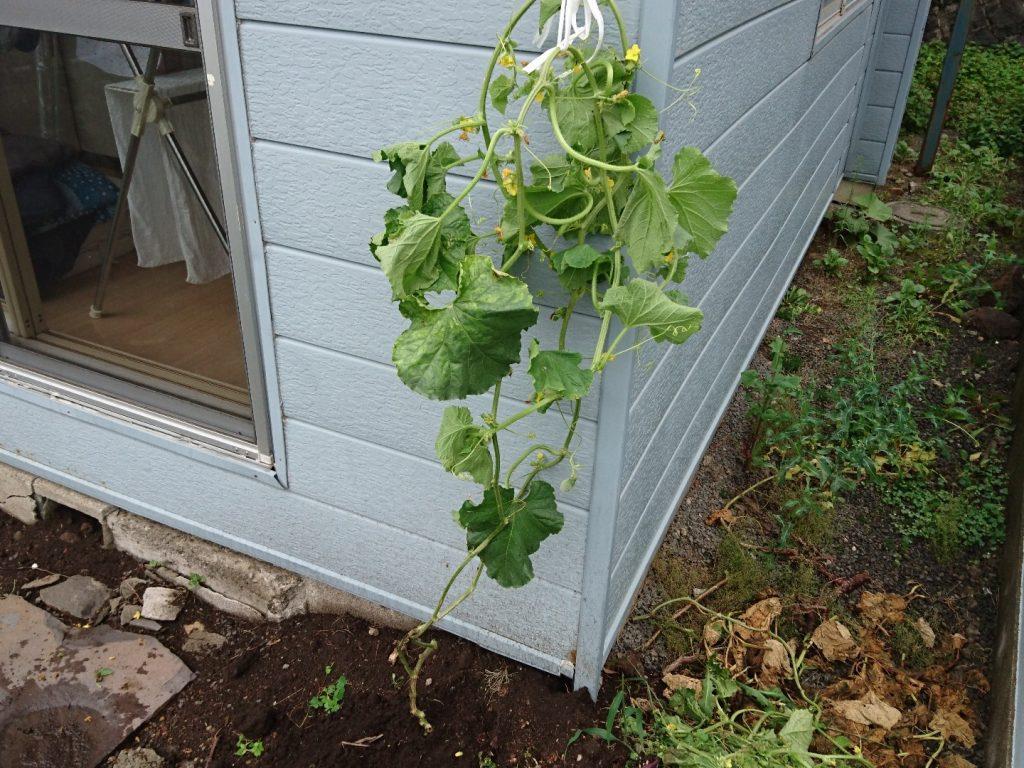 平成28年8月20日メロンが枯れてから2日。上からひもで吊るす。枯葉を取り除くとスッキリ。