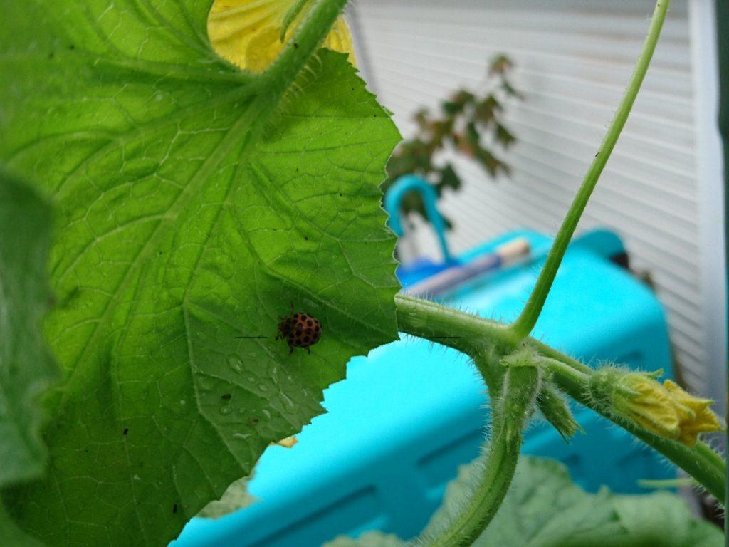 平成28年8月20日メロンの葉につくテントウムシ。