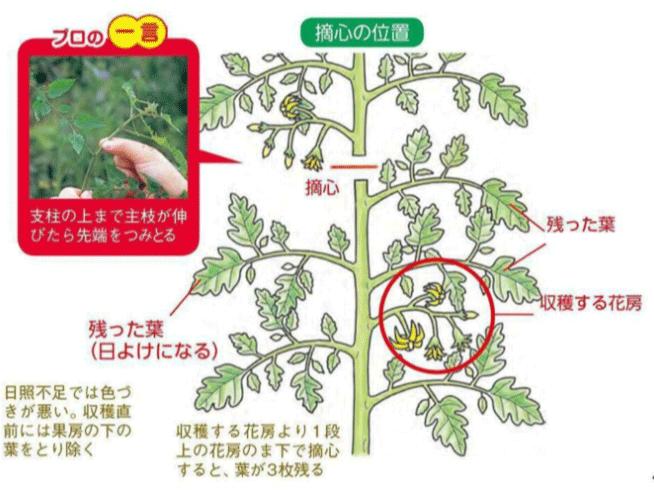 芽 トマト かき 脇